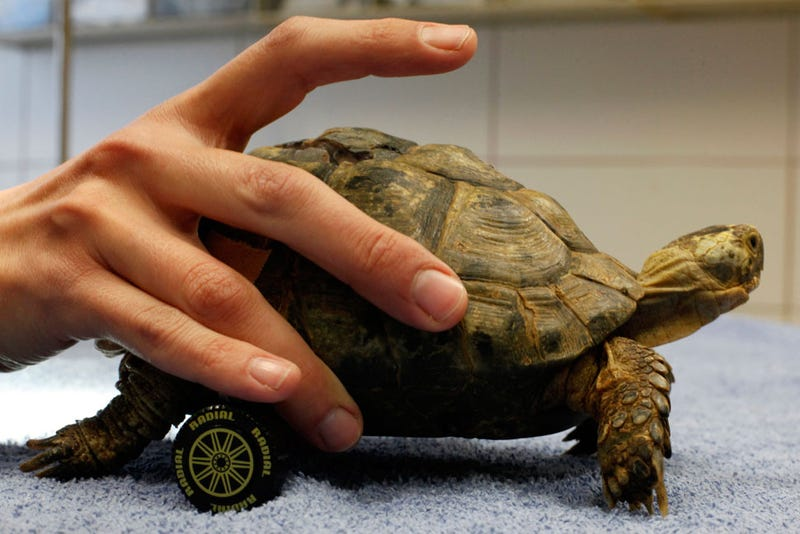 Meet Tzvika, the Turtle with Wheels for Legs