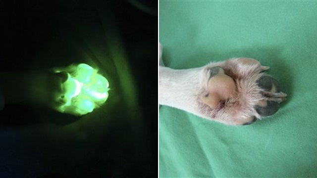 South Korean Scientists Clone Glowing Dog
