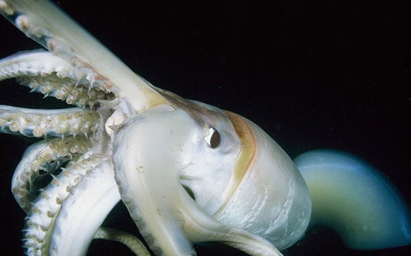 Giant Squids Invade The Dead Zones Of California