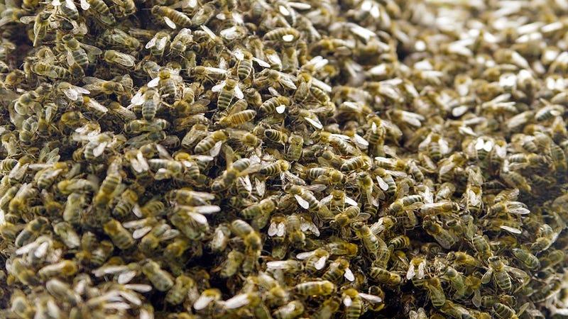 Zombie Bees Terrorize Bushwick