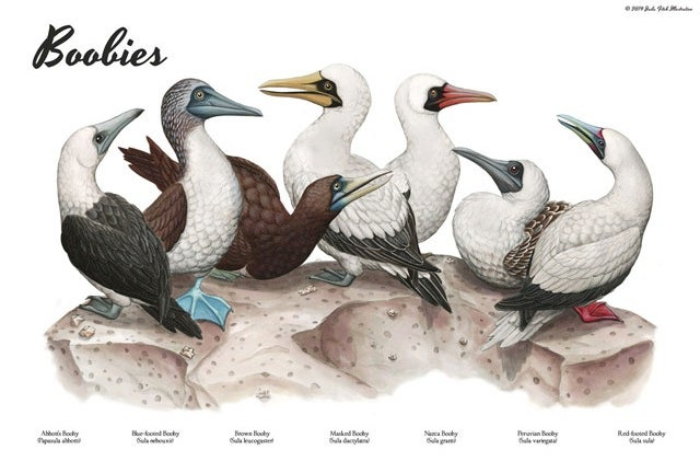 Know Your (Blue-Footed, Red-Footed, And Masked) Boobies