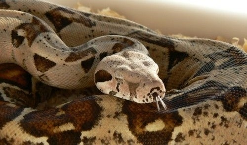 Virgin birth discovered in boa constrictors