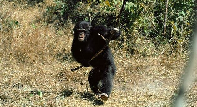 Chimpanzees play with sticks as though they're dolls