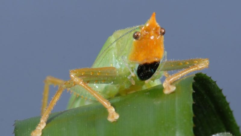 This insect has human ears