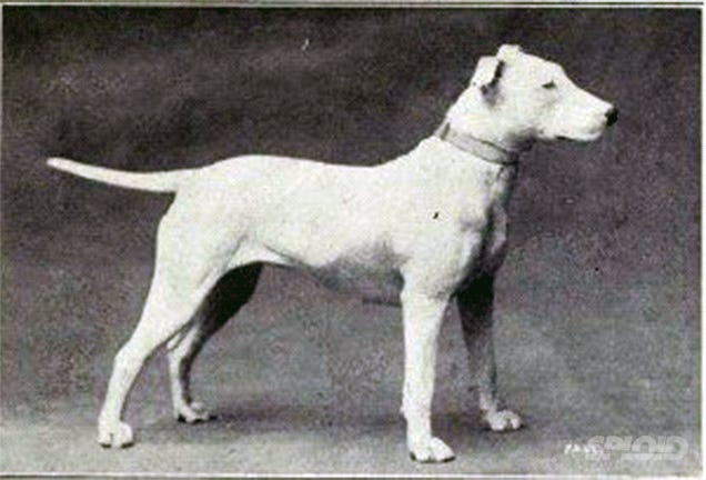 How a century of dog breeding ruined these beautiful animals
