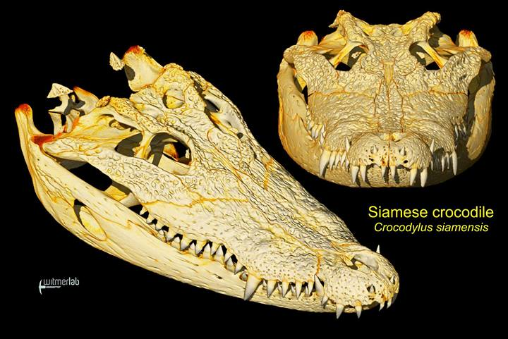 See The Most Detailed Images Ever Taken Of A Crocodile's Insides