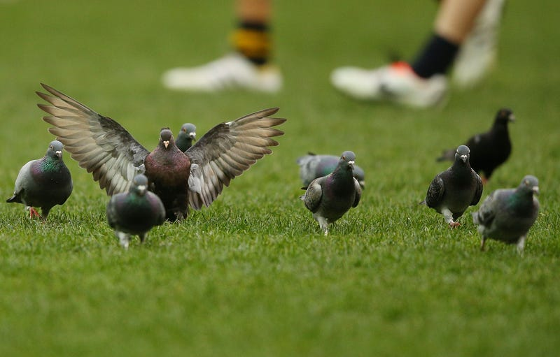 Belgian Racing Pigeons Are Being Pumped Full Of Coke And Painkillers