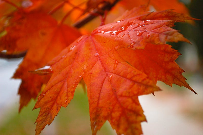 76 stunning photos of fall leaves - Decorative trees with red leaves amazing contrasts ...