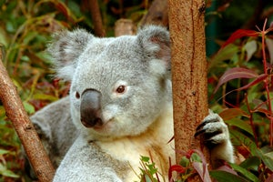 Koalas are STD-Ridden Beasts