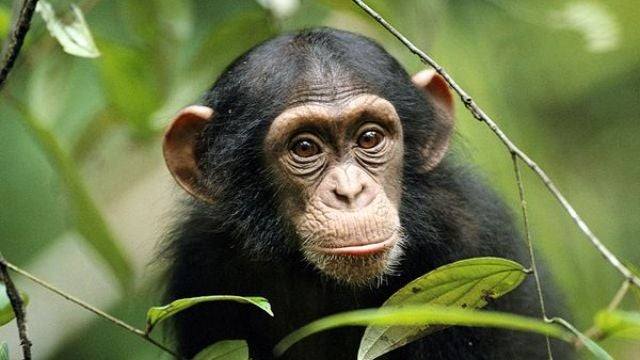 Chimp and human brains are even more alike than we thought