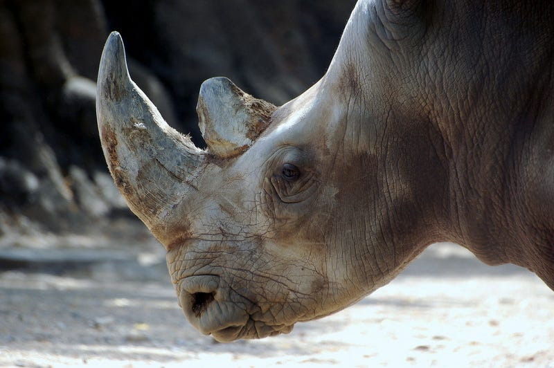 Kenyan officials will use microchip implants to prevent rhino poaching