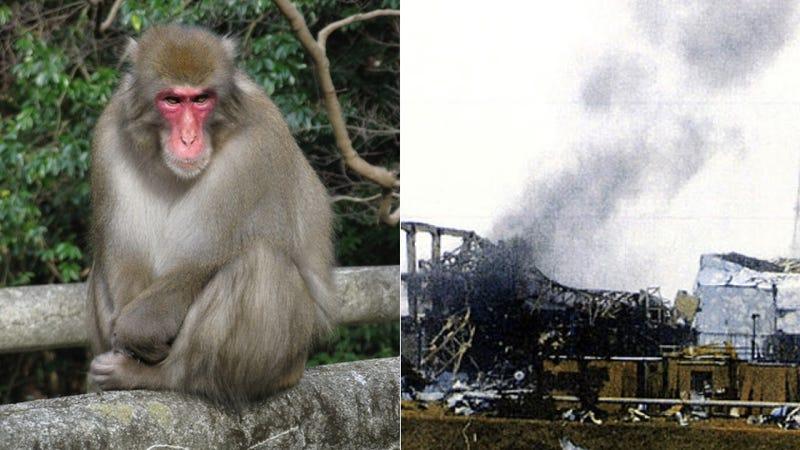 Japan Unleashing Packs of Wild Monkeys to Test Fukushima Radiation