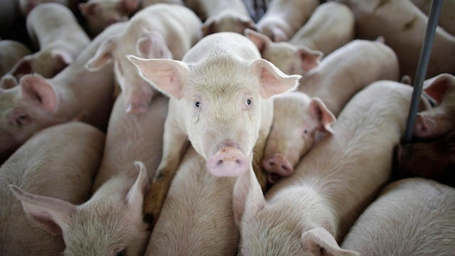 California Can Totally Keep Killing Wobbly Pigs