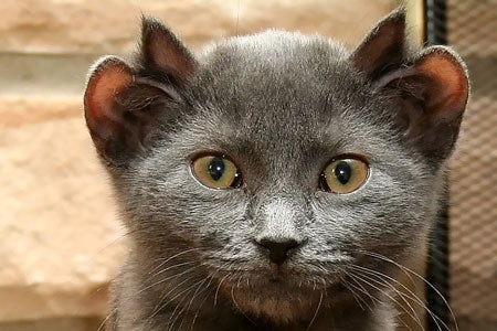 Four-eared cat is at least twenty times cuter than non-mutant kitties
