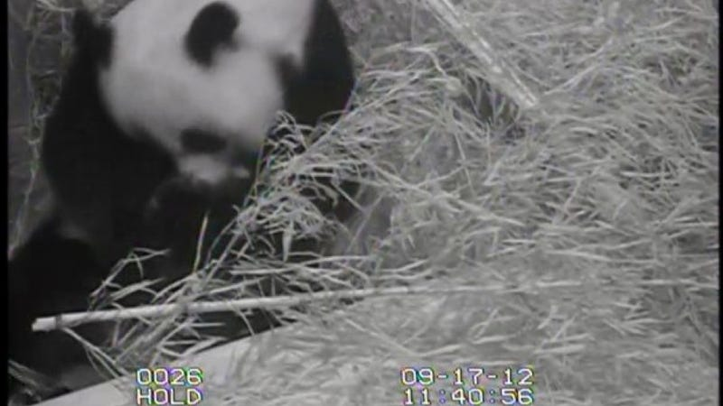 Drop everything — a baby panda was just born at The National Zoo, and there's a baby panda cam (UPDATED)