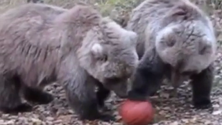 Who Needs The NBA When You've Got Basketball Bears?