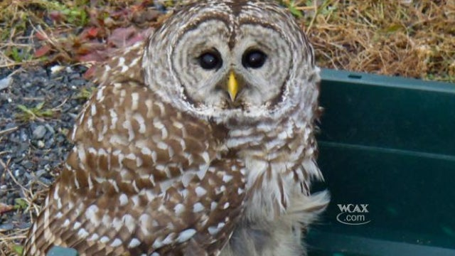 Luckiest owl ever survives head-on collision with pickup truck