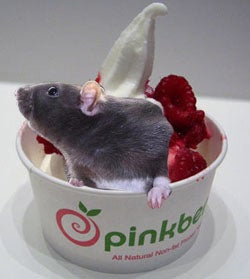 Rats Love A Good Frozen Yogurt