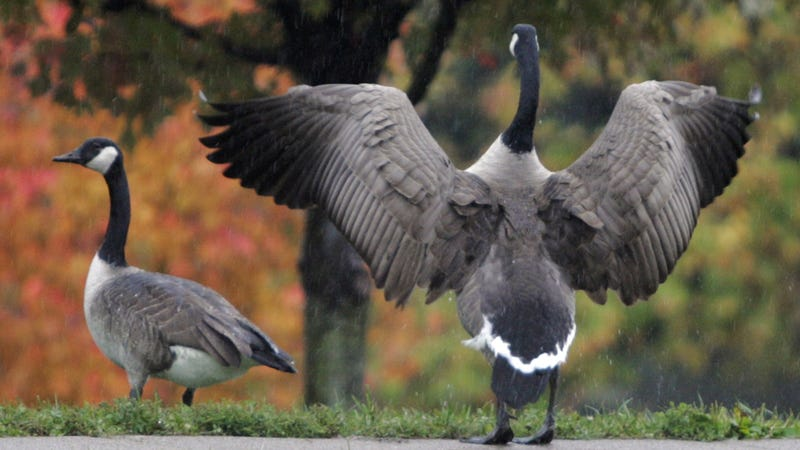 NYC Laughs in the Face of L.A. Foie Gras Ban, Slaughters Geese