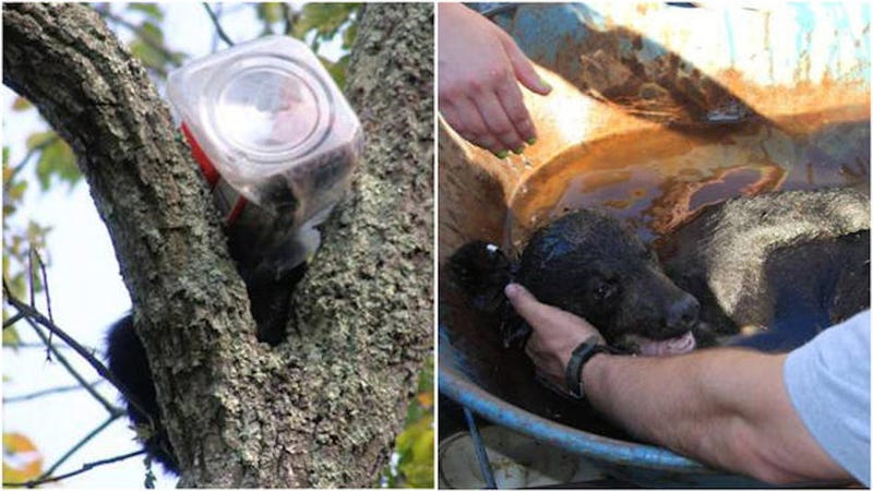 Bear Cub Rescued After Getting Head Stuck in Cookie Jar