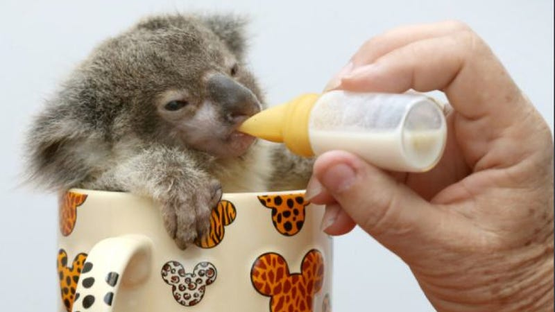 And now, a baby koala sitting in a tea cup