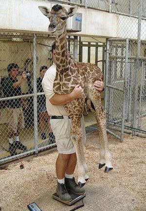 Is This Really How You Weigh a Giraffe?