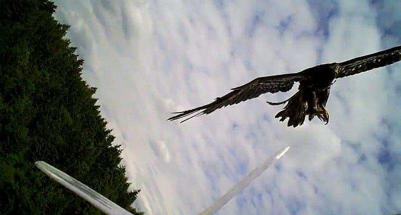 Real Eagle vs Robo-Eagle: DOGFIGHT!