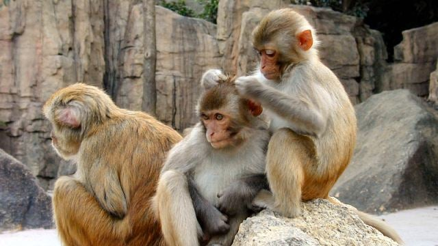 Game-playing monkeys reveal how we evolved self-awareness