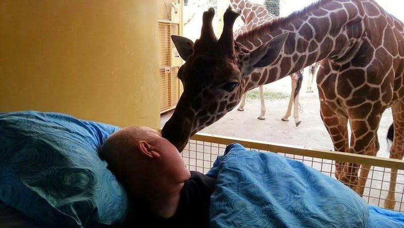 Giraffe Kisses Dying Zoo Worker Goodbye