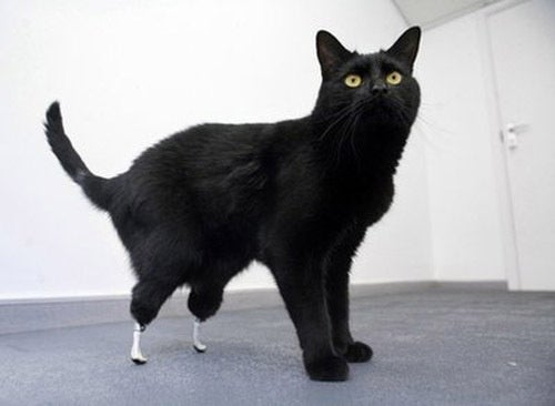 'World's First Bionic Cat' Has Prosthetic Paws