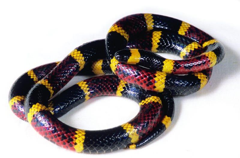Why snake venom causes such horrifying pain