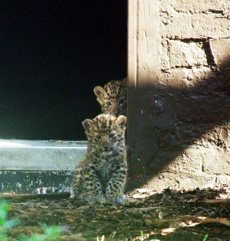 ZOMG THERE ARE BABY AMUR TIGERS AND LEOPARDS!!!