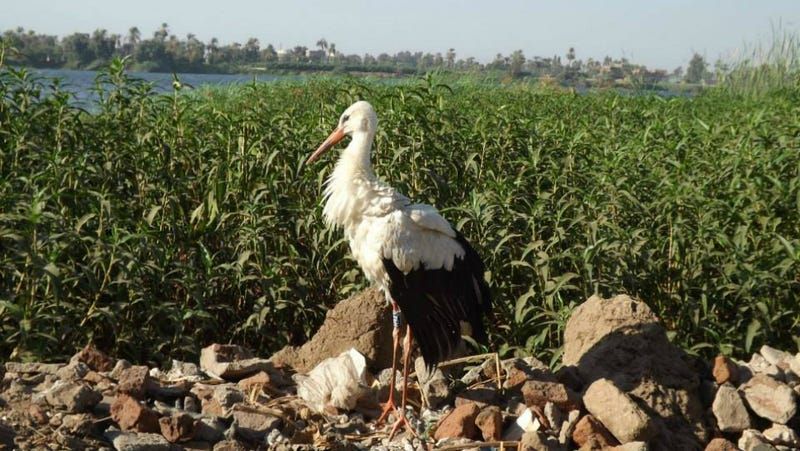 Suspected Egyptian Spy Stork Freed, Then Promptly Killed and Eaten