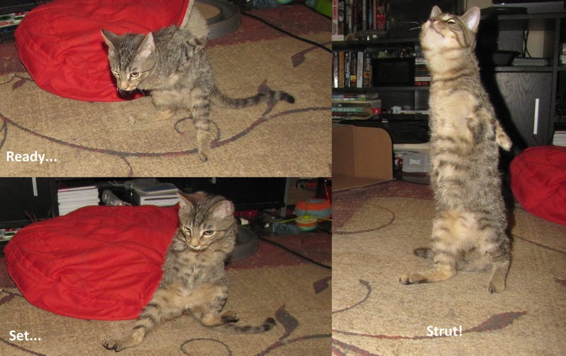 Mercury the two-legged cat does the world's cutest T. rex impressions