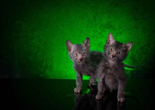 "The New ""Werewolf Cat"" Highlights The Complicated Ethics of Breeding"
