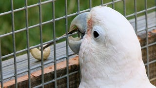 Cockatoos Learn To Make Tools By Watching Their Friends