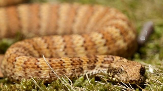 """""""Snakeman"""" Let Snakes Bite Daughter"""