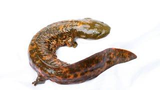 "Meet the ""Snot Otter,"" North America's Biggest Salamander"