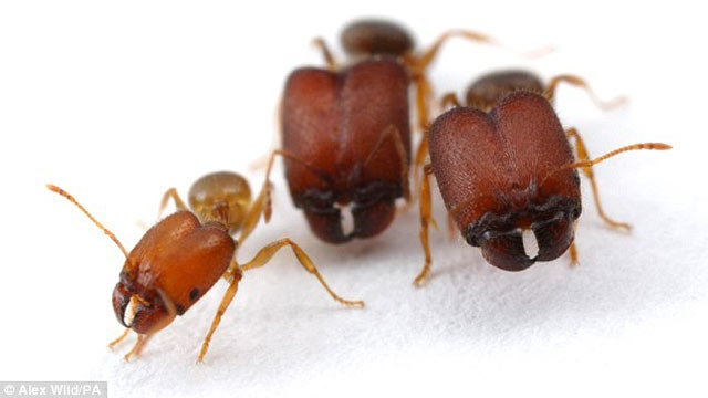 Scientists Doom Us All by Engineering Gigantic Super Soldier Ants