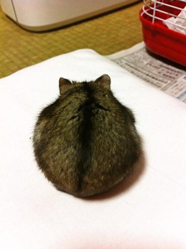 Anyway, berikut adalah beberapa foto pantat hamster yang diambil dari