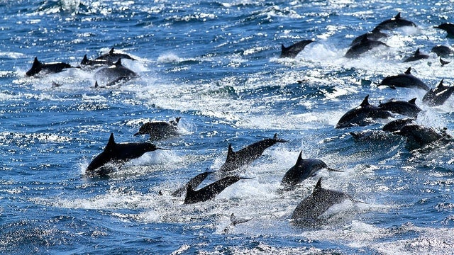 Why are thousands of dolphins dying off the coast of Peru?
