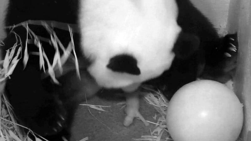 Baby Panda Is Female, Has Father in Household