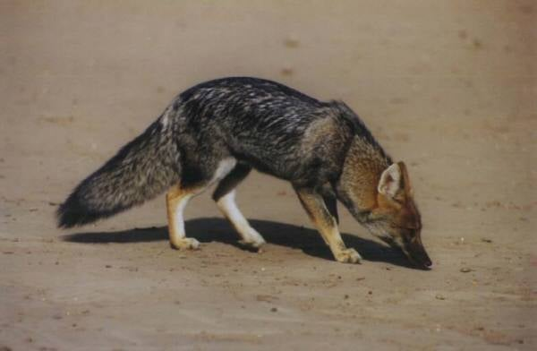 Wednesday Woof - Lycalopex gymnocercus Edition