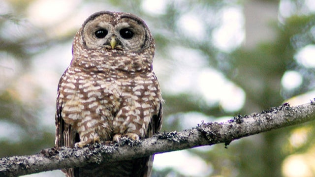Obama Gives Owl Genocide the Go-Ahead