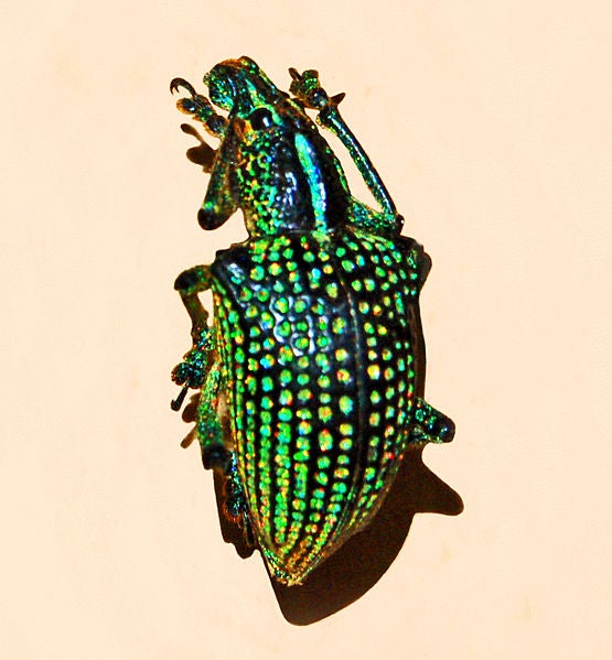 3D crystals camouflage the Diamond Weevil with their super shine