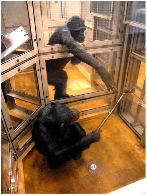 Chimpanzees Are Altruistic - But Only If You Ask Nicely