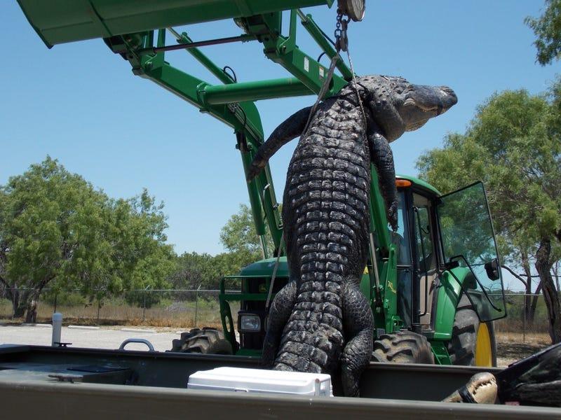 High Schooler's Dream Comes True With Murder of Elderly Alligator