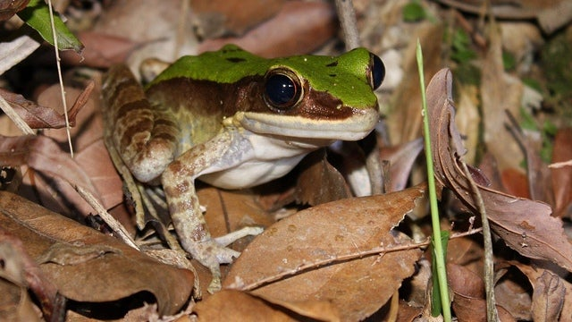 The world's smelliest frogs are a treasure trove of antibiotics