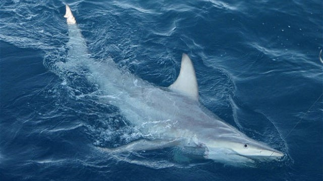 World's First Shark Hybrids Discovered Near Australia