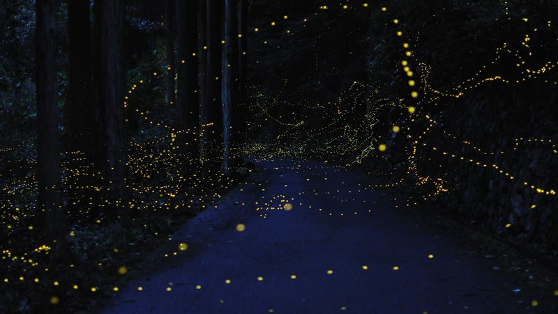 An incredible, time-lapse vision of fireflies in the wild